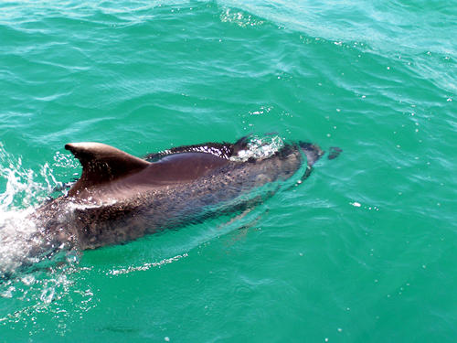 Dolphin Watching, Bay of Islands, New Zealand