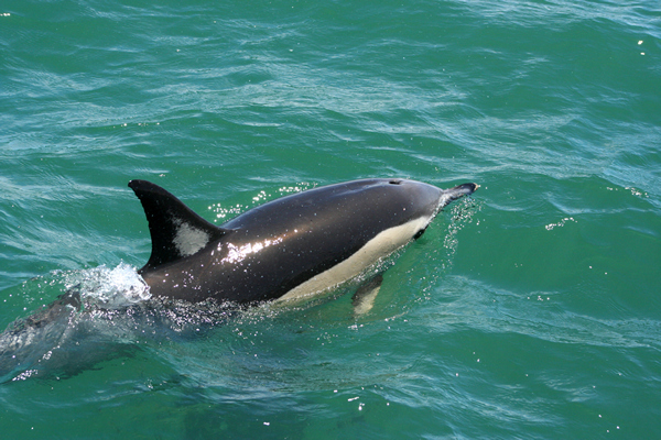 Dolphin Watching, Tauranga,  Bay of Plenty, NZ.