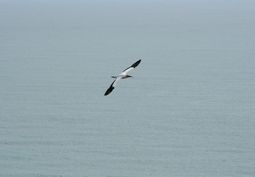 Gannets, Cape Kidnappers, NZ.